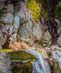 Deer Family Resting on a Stone Ridge